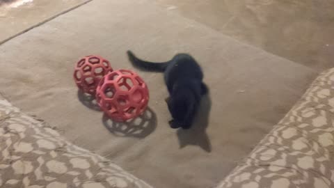 Junebug the kitten and Ellie playing