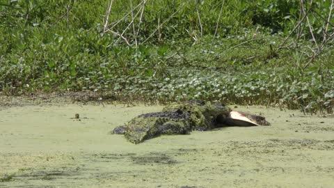 alligator bites a large turtle remains
