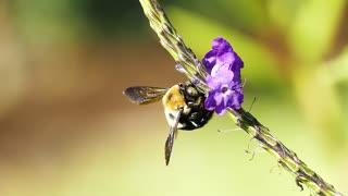 A Bumble Bee Feeding On Flowers Nectar