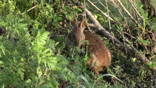 Cute Marsh Rabbit eating plants