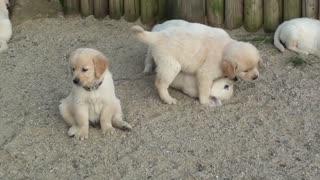 Swarm of golden retriever puppies