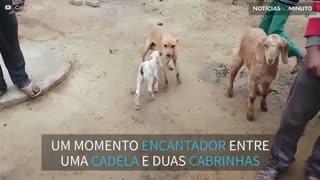 Cadela amamenta cabrinhas famintas