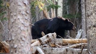Black Jumbo Bear Got Spotted In Forest