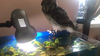 Careless baby owl falls into fish aquarium