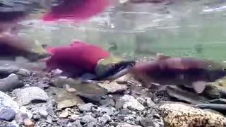 Sockeye Salmon Spawning