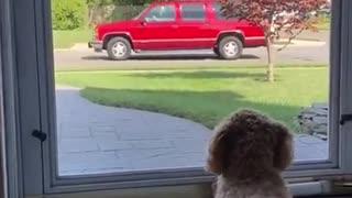Gigantic Fluffy Poodle Dogs Lovee