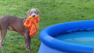 Puppy Wants an Early Morning Swim in New Pool