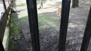 Magnificent deer at the zoo.