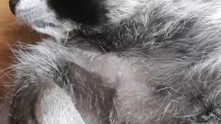 Raccoon getting a massage