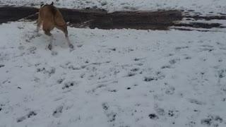 Valley bulldog zoomies