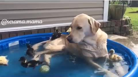 Labrador dog lounges in pool with baby ducks