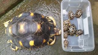 Mother tortoise lovingly admiring her babies