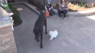 Cute Puppies Playing with Big Dogs Compilation - Funny Dog Videos