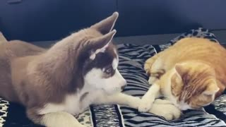 Kitty Playing With Husky Puppy Is The Cutest Thing You'll See Today