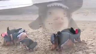 Shark Pigs On The Beach