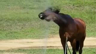 Funny horse loves to take a shower with the sprinkler system
