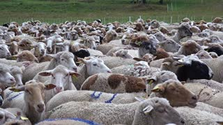 herd sheep lambs goats