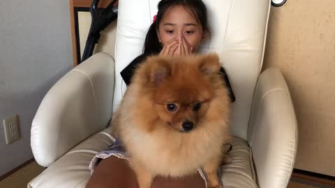 This pomeranian dog gets crazy when its hair is blown