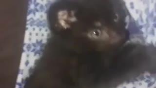 Playful kitten 1