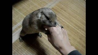 Gophers enjoys being massaged