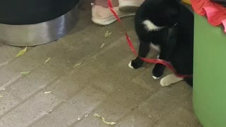 Wild cat plays with string