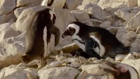 Father penguin greets his babies for the first time