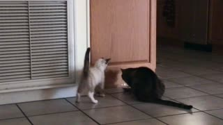 Kitten Wants to play, Cat doesnt