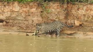 Jaguar Attacks Anaconda