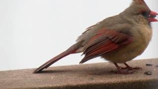 Bird Watching: Up-close Cardinal and Blue Jay