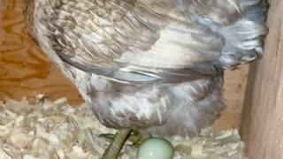 26 sec- chicken lays an egg