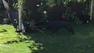 Water-loving staffy makes gardening very difficult
