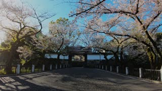 Cherry Blossoms - Japan Spring 2019