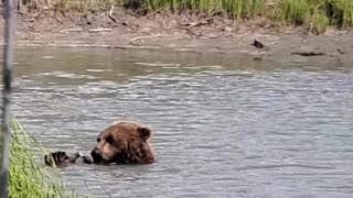 Grizzly Bear in Anchorage, Alaska