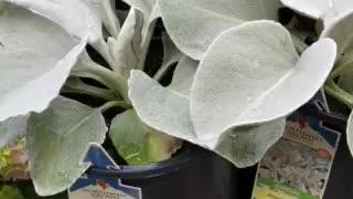 Angel wings plant