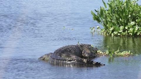 alligators in a lake