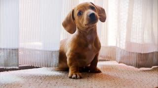 Cute puppy little puppy