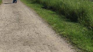 Alligator Walks Across Path