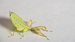 Tropical leaf insects looks strange