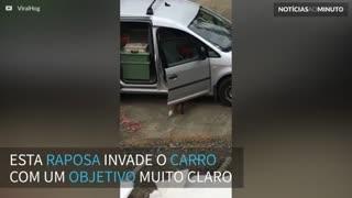 Raposa invade carro para roubar pizza