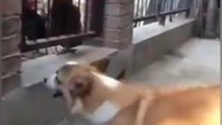 Chicken vs Dog crazy fight