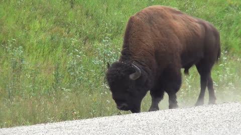 Buffalo, strong animals, 🇨🇦, 🇺🇸