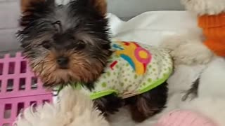 Cute & Intelligent Little Puppies Playing
