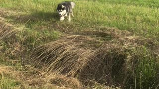Husky Sprints into Unseen Hole