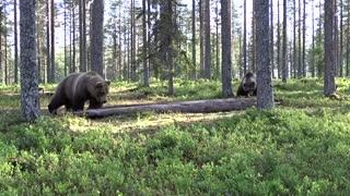 Amazing gaint bear fight!
