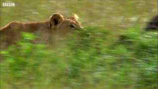 Mother Lioness Hunts Warthog