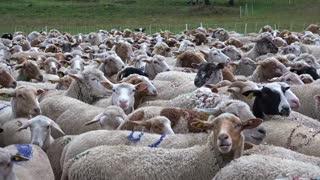 A whole large flock of beautiful sheep