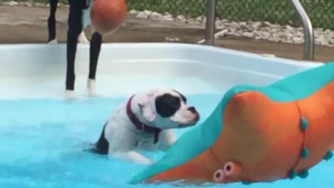 boxer puppy trying to get on pool float