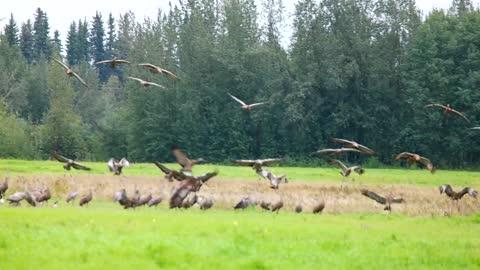 Sandhill Cranes Are Landing on the Ground in Fairbanks, Alaska in August