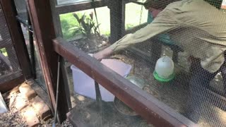 Lizard in Chicken Coop