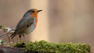 Lovely Robin Bird